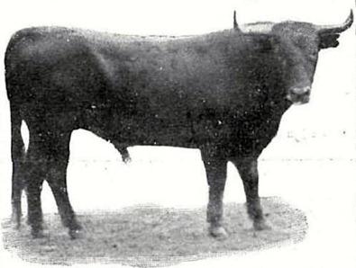 1911-03-07 Respetable público Toro de Coruche