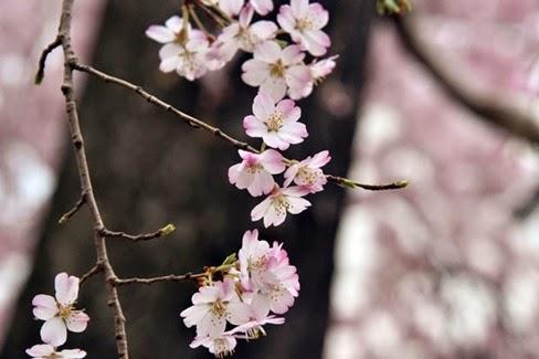 sakura-japao