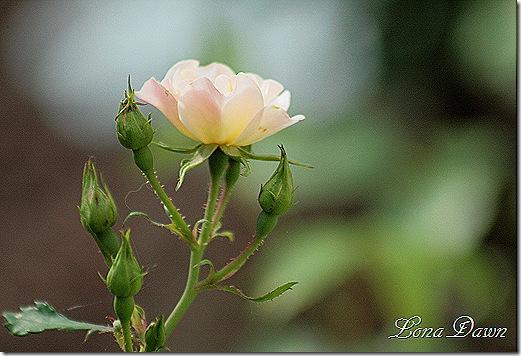 Rose_Bonica3