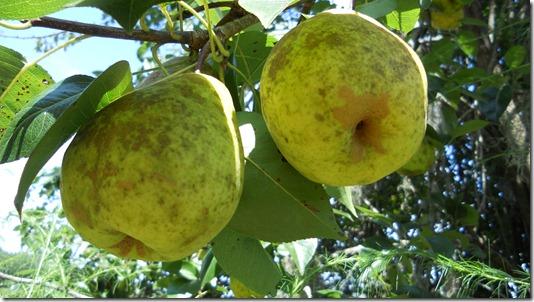 pears 011