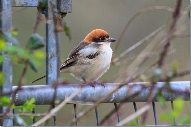 Chew_Woodchat-2
