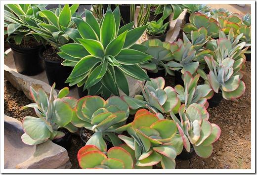120928_SucculentGardens_Kalanchoe-luciae-variegata