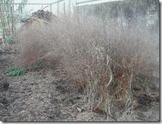 Asparagus bed in mid-winter before the ferns are cut back to ground level