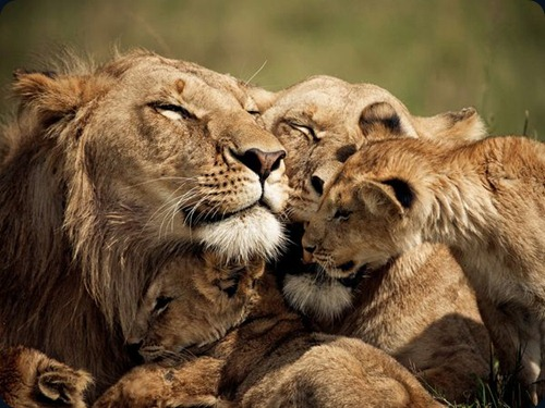 lions-cubs-kenya