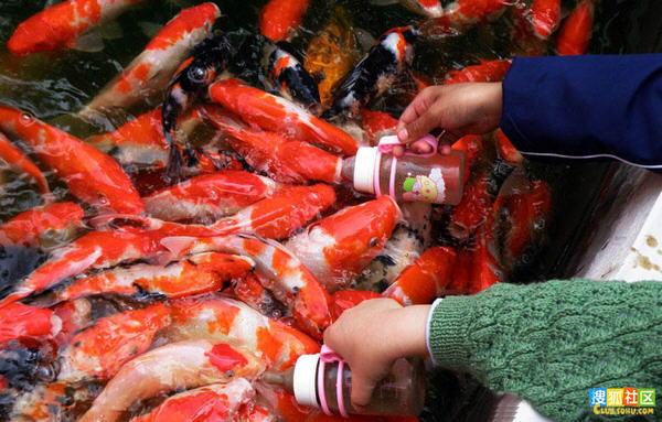 Feeding bottle sucking fish in China