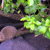 A Mongoose Walking Amongst The Rocks - Basseterre, St. Kitts