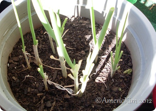 how to grow onions in a pot