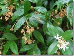 Rhyncospernum ( jasmin) perde a flor perde o cheiro.Jul.2013