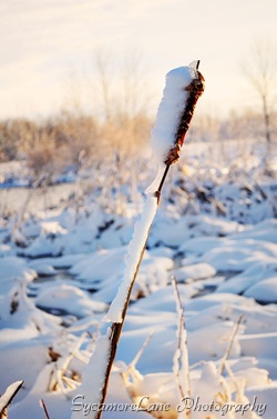 snow on cattail-w
