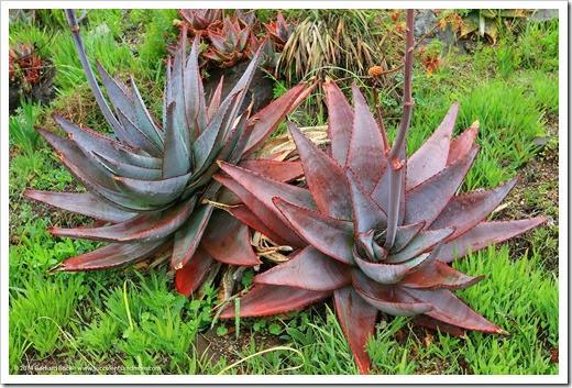 140206_UCBG_Aloe-capitata-quartzitocola_004