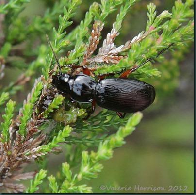 31-Pterostichus-madidus-pos