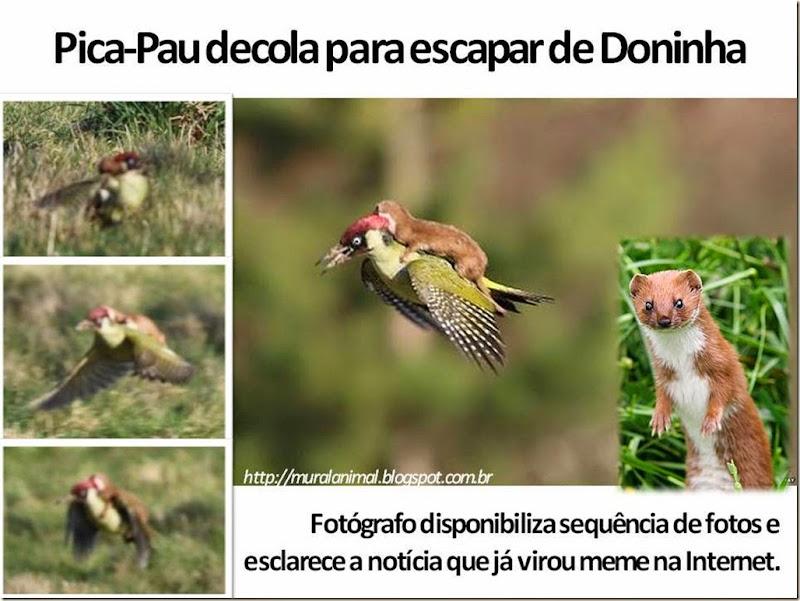 Pica-Pau decola para escapar de Doninha