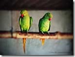 Parrots-Parakeets