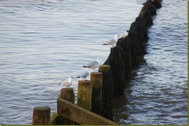 Cromer seagulls