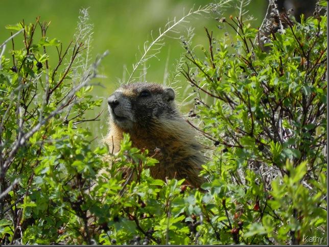 Yellow-bellied Marmot