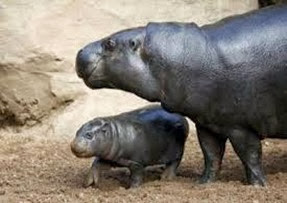 Amazing Pictures of Animals, Photo, Nature, Incredibel, Funny, Zoo, Hippopotamus, Hippopotamus amphibius, Mammals, Artiodactyl, Alex (8)