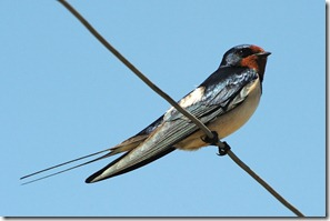 barn_swallow_moreland
