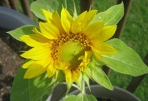 sunflower-small_thumb1