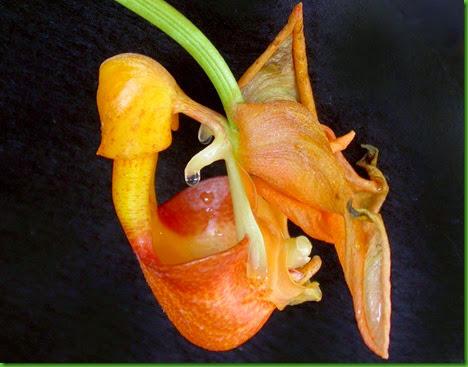 ORQ Coryanthes speciosa