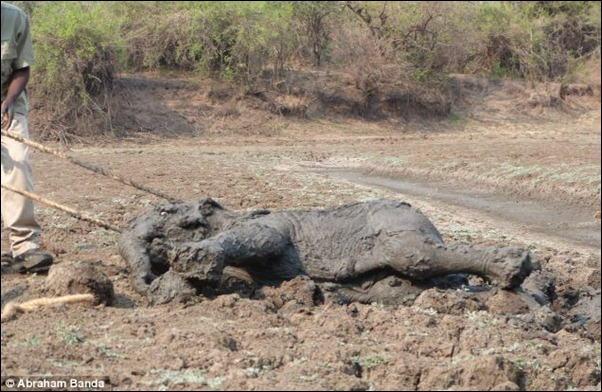 A final attempt is made to pull the calf further away from its mother who continues to thrash around in the mud