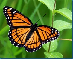 Viceroy Butterfly-1