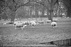 Sheep-at-Riseholme-2