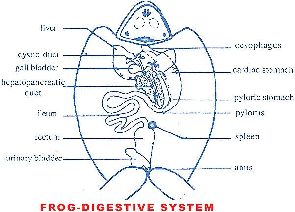 The Digestive System Of Frog Consists Of Digestive Tract
