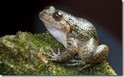 GAVI NIGHT FROG- Nyctibatrachus gavi