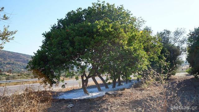 Σχοινοι, Μαστιχόδεντρα