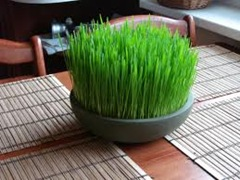 wheat grass 2