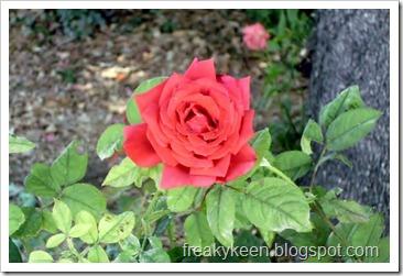 MCC Rose Garden 13