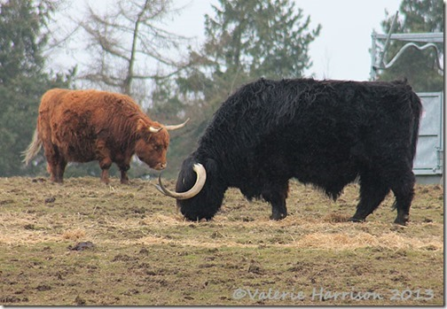 26-highland-cattle