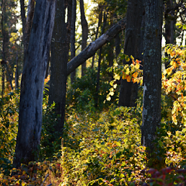 Autumn walk in the woods by Jill Beim - Landscapes Forests ( forests, pathway, autumn, fall, woodland, landscape,  )