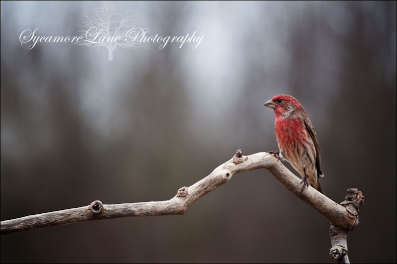House Finch-web-logo-SycamoreLane Photography