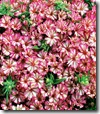 phlox peppermint candy