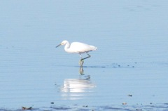 cape Cod 8.2013 white egret at beach
