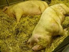 2015.02.26-048 Hent Vad et Eclipse porcs blancs de l'Ouest