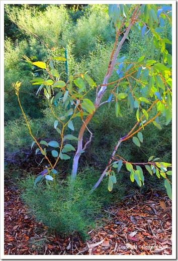 131124_UCD_Arboretum_AustralianCollection_Eucalyptus-pauciflora-debeuzevillei_02