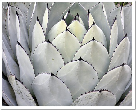 121228_UCBotGarden_Agave-parryi-huachucensis_02