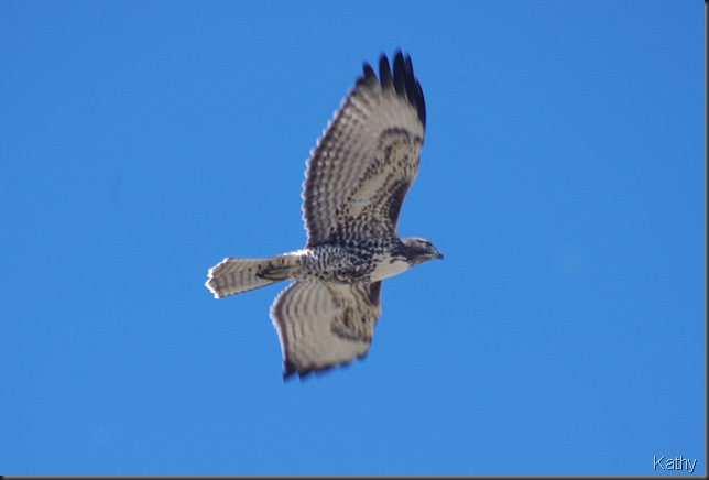 Juvenile Redtail hawk in flight
