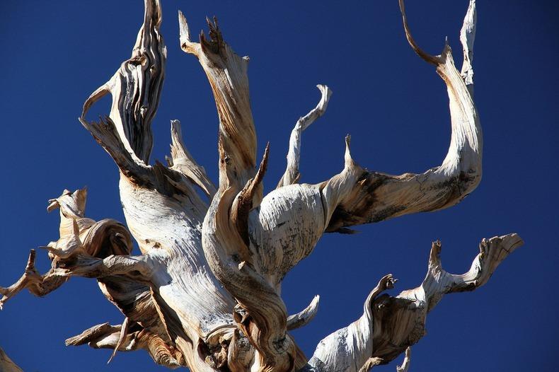 bristlecone-pines-2