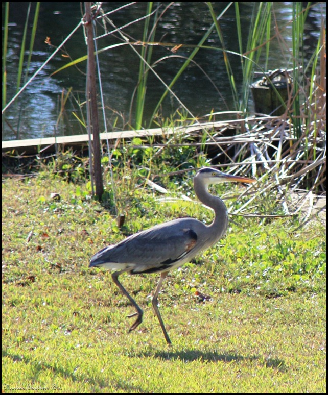 heron1 (2)