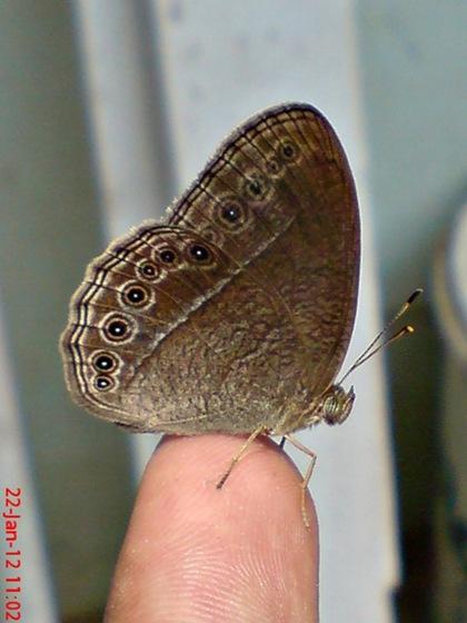 Mycalesis perseus_Dingy Bushbrown