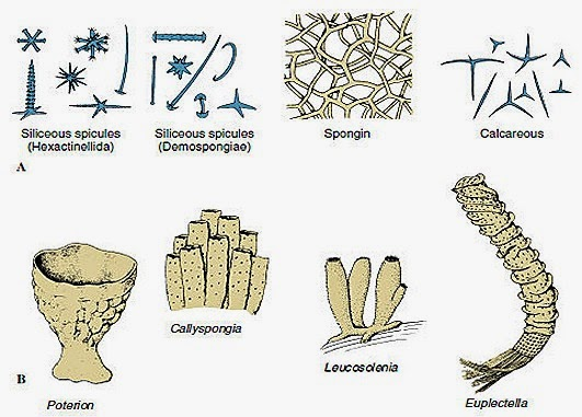 porifera-classifivation-spoges