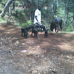 Pigs in Furcy, Haiti