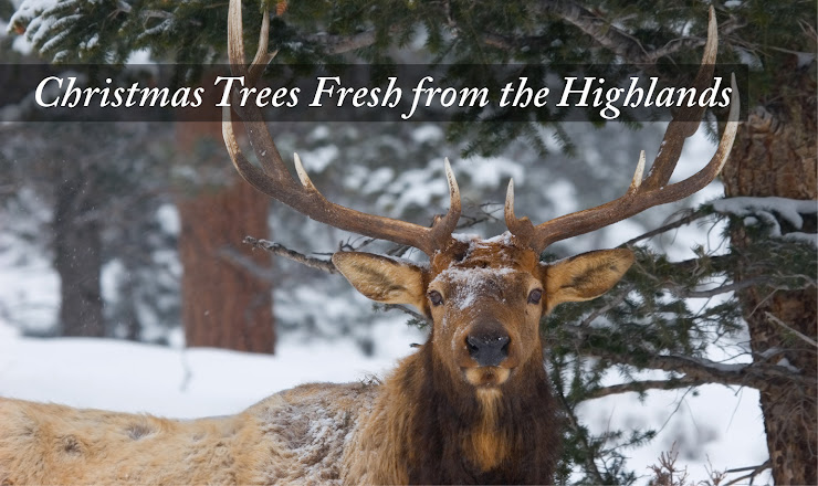 Fresh Christmas Trees | http://www.pinesandneedles.com/christmas-trees/