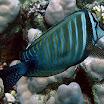 pokolec - Zebrasoma desjardinii - Sailfin tang.jpg