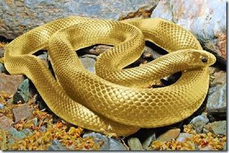 Gold_Animal_7b