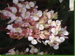 Begonia Estrela (6)