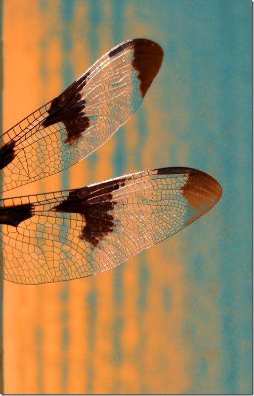 dragonflywings